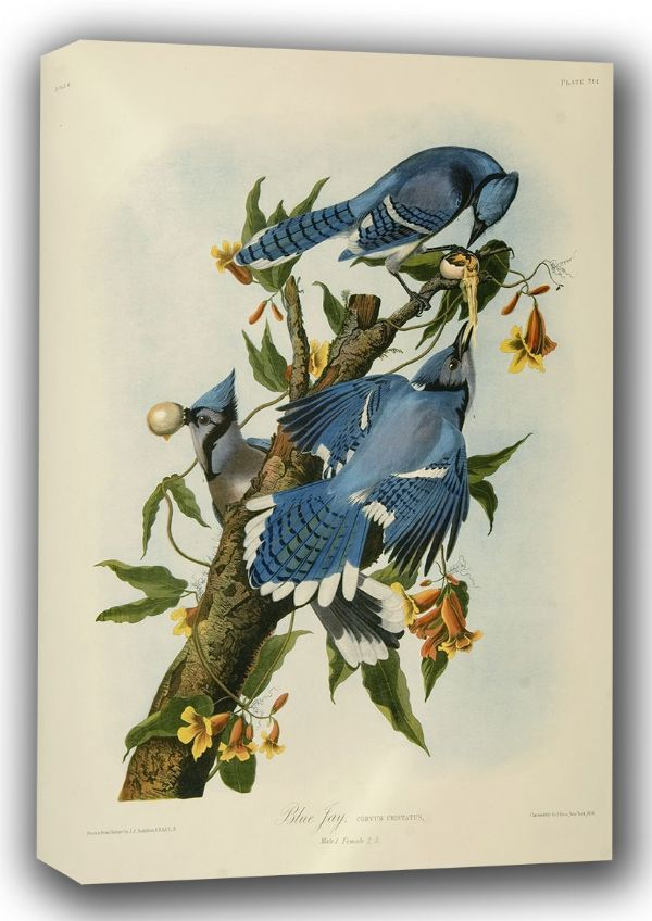 Audubon, John James: Blue Jay. (Ornothology/Bird) Fine Art Canvas. Sizes: A3/A2/A1 (001013)